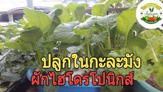 Hydroponics home garden||ผักไฮโดรโปนิกส์ ปลูกในกะละมัง : สวนผักหน้าบ้าน ปลูกผักในเมือง ep. 67