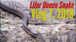 HerpersGuide Goes Big City and Finds Lifer Queen Snake while Herping