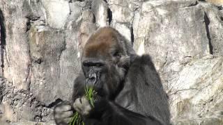 2014年12月22日撮影 朝食中の千葉市動物公園のゴリラのローラちゃん。 R...