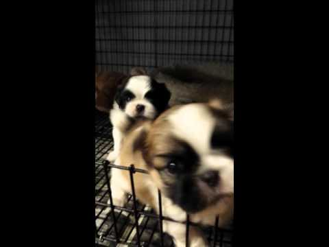 Terry Lee Madonna and Frankies pups