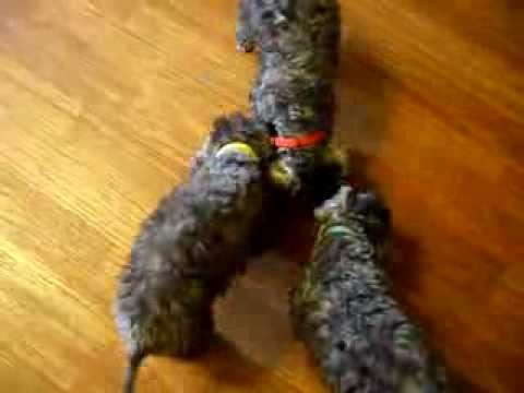 Kennel SOLO ROSSII. Bedlington puppies.