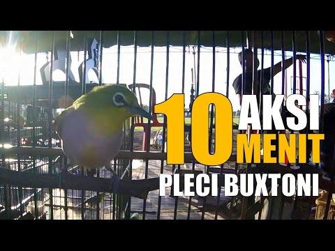 BRANDY WATCH : Aksi Pleci Buxtoni Gacor Yoga Midori Kudus Di KOPDARNAS 3 PCMI Tanah Lot Bali