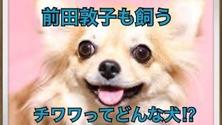 ペットで犬を飼おうと迷っている方へ〜チワワ〜 世の中には様々な犬種が...