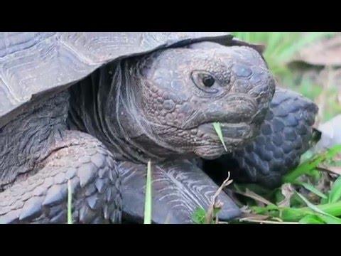 Florida Turtle | Gopher Tortoise