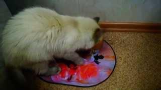 Котэ зарывает миску с едой :D