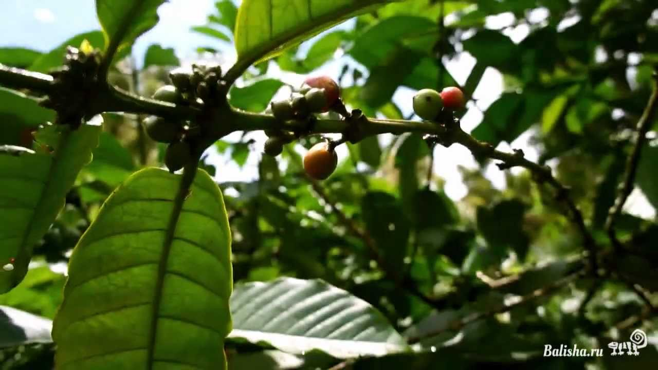 Как растет кофе на Бали - YouTube