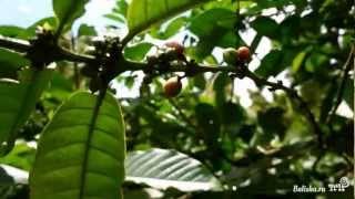 Как растет кофе на Бали