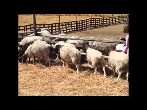 RLMS 2012-159 B Mt Hampden 7 Feeder Male Sheep ESTLW 37kg