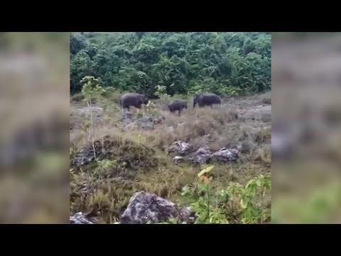 Keluarga gajah 'melepak' di laman rumah petani