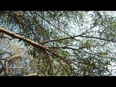 Des chants d'oiseaux diffusés... pour attirer les oiseaux (Chypre)