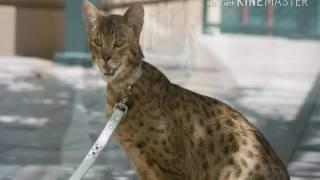 Самая большая кошка -Ашера