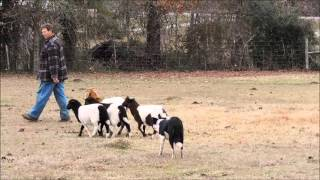 8 Month Old Border Collie Puppy Training Goats And Sheep On Her 4th Lesson