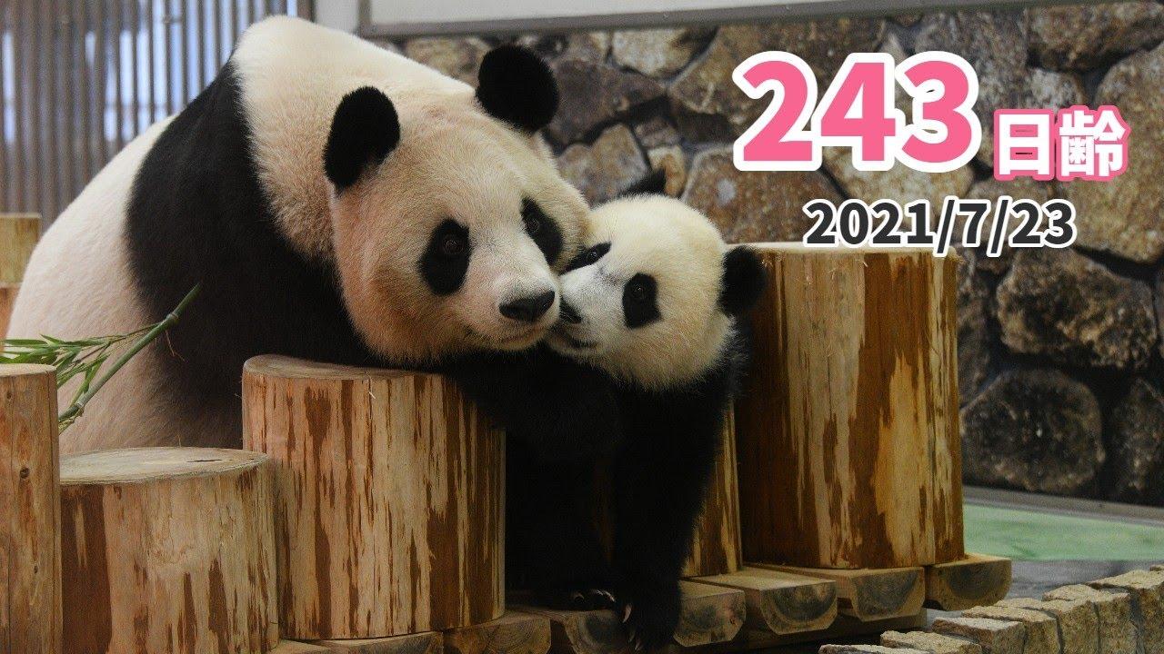 【パンダの赤ちゃん(楓浜)】夏もびっくり!ホットなコミュニケーション(243日齢)