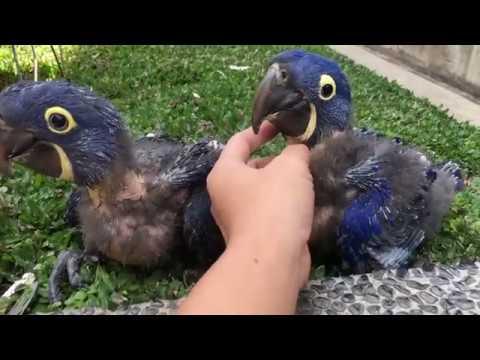 Hyacinth Macaw - Guacamayo Azul
