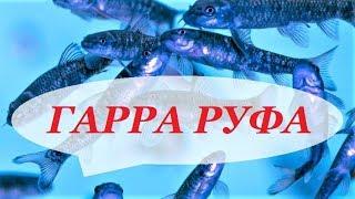 Рыбка Гарра Руфа. Содержание, разведение в домашнем аквариуме, уход.