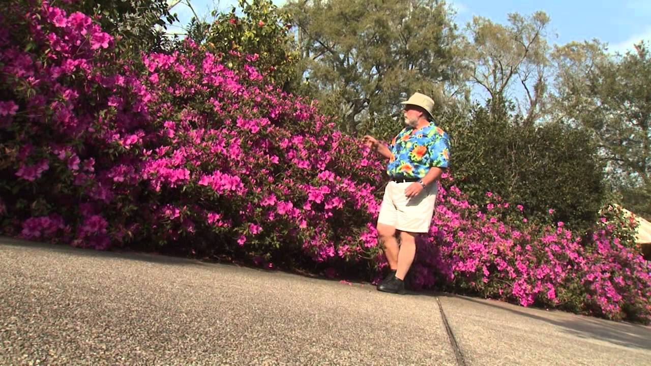 Southern Gardening TV   April 3, 2013   Indica Azalea   YouTube