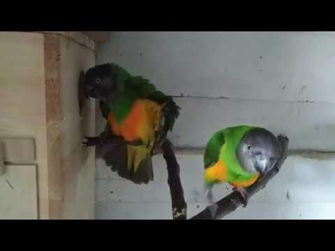 Senegal Breeding Pair 4K