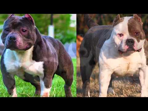Cutest High Quality Razors Edge American Bully Pitbull