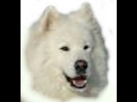 samoyed:-owning-&-training-a-samoyed