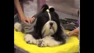 Про породу собак - Ши-тцу