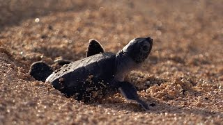 Green Turtle's Battle for Survival   Planet Earth   BBC Earth