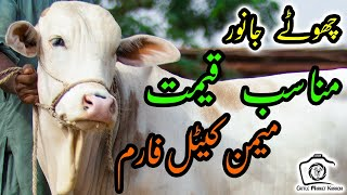 Mid Range (100K - 250K) Cattle at Memon Cattle Farm | Cattle Market Karachi | Bakra Eid 2021 Cows