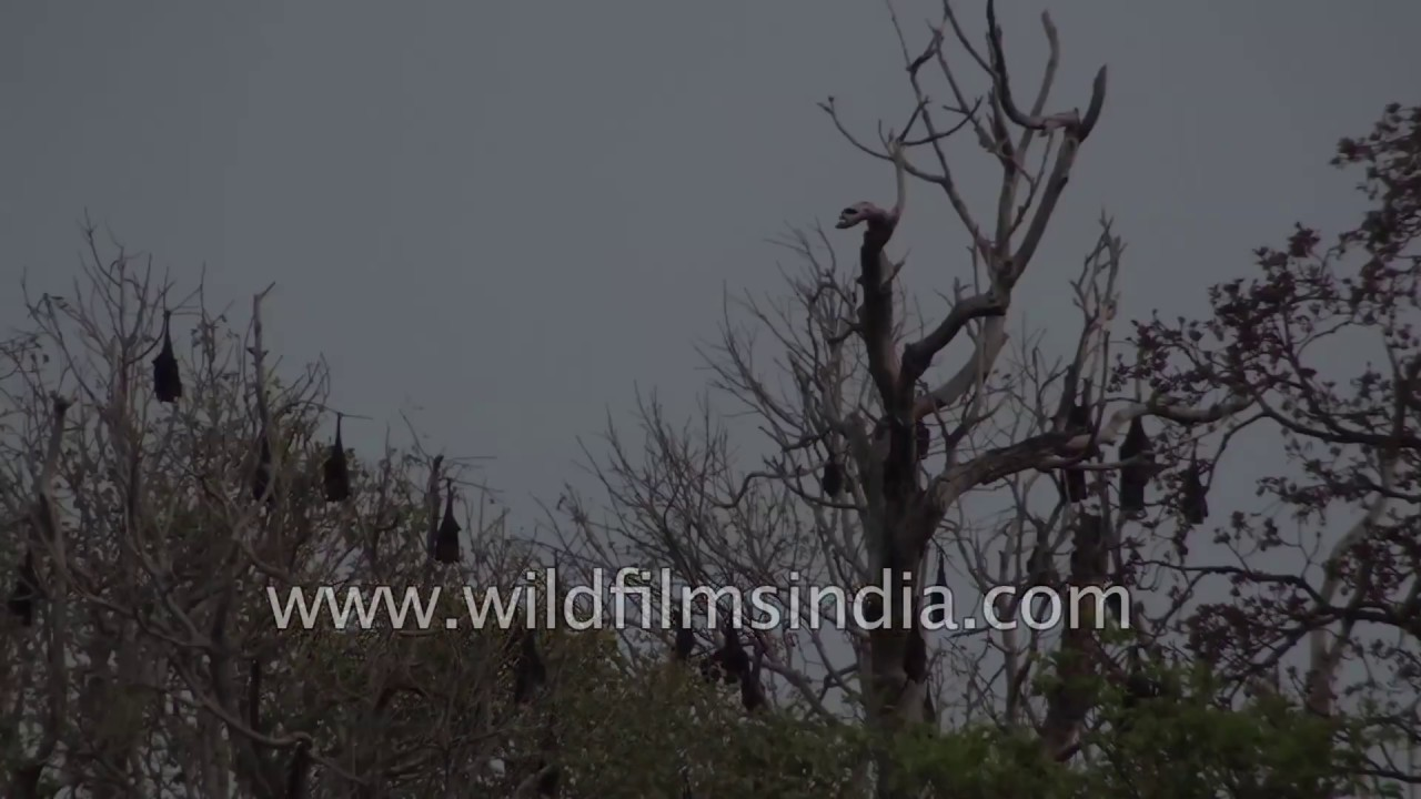 Colony Of Bats Roost On Trees A Flooded Region In Bangalore