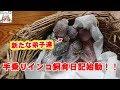 手乗りインコ飼育日記【その①】セキセイインコのヒナのお披露目!