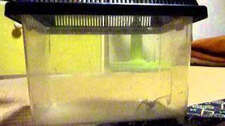 アシダカグモにゴキブリを2匹与えたら thumbnail
