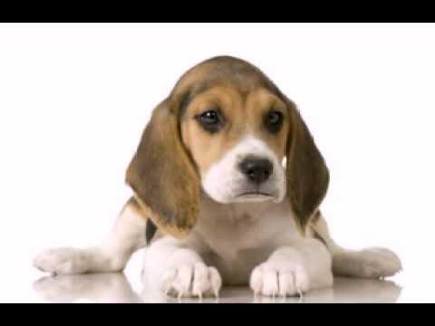Funny Birthday Song (Daisy the Beagle)