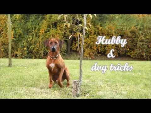 Rhodesian ridgeback Hubby & dog tricks | almost 2 years