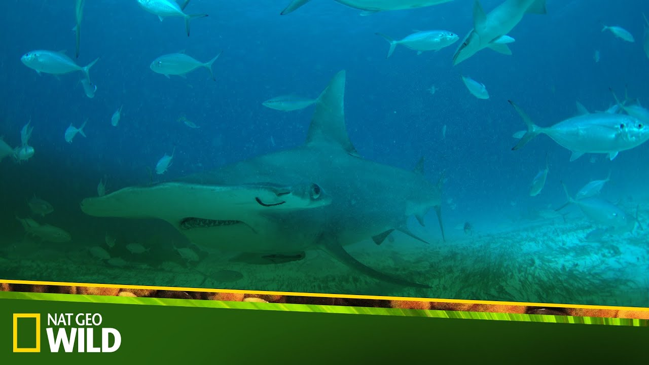 Köpek Balığı Festivali
