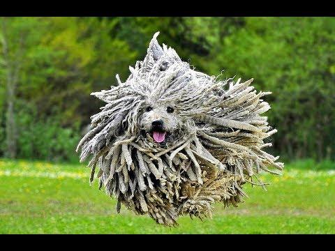 Порода собак Комондор (Венгерская овчарка)