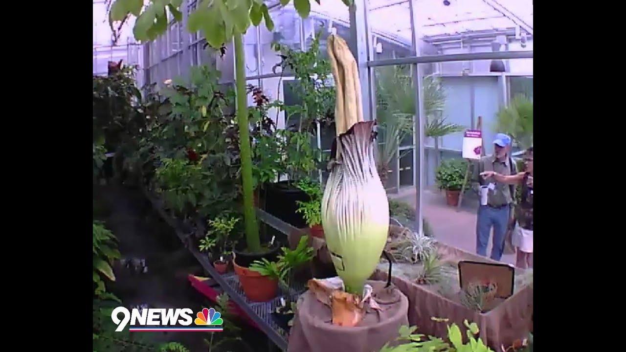 WATCH Corpse flower blooms at Denver Botanic Gardens