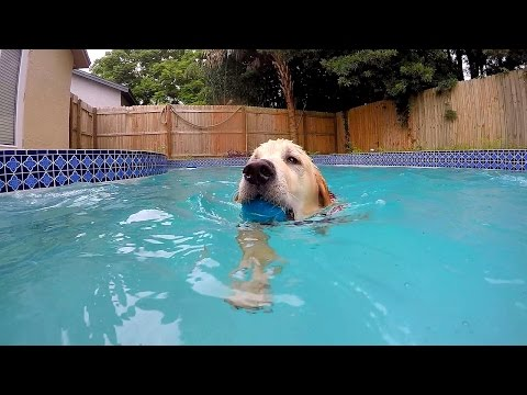 Teaching Cooper How to Swim! (Golden Retriever Puppy)