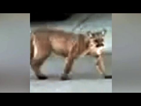 Mountain Lion Seen Strolling Down Street in Pleasanton