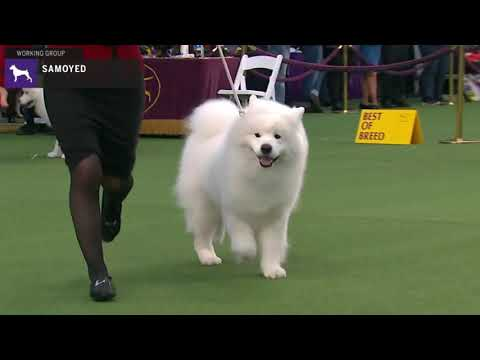 Samoyeds | Breed Judging 2020