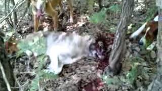 Zagart ujku i vrar ne kosov
