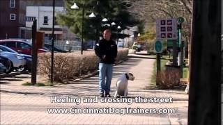 American Bulldog Amazing Transformation At Cincinnati Dog Trainers Off Leash K9