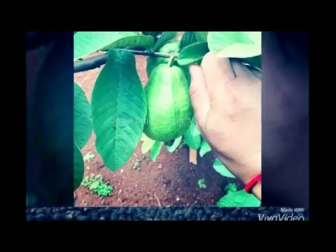 Orchel Organic Farm, Mondulkiri Cambodia Khmer world best Organic pepper
