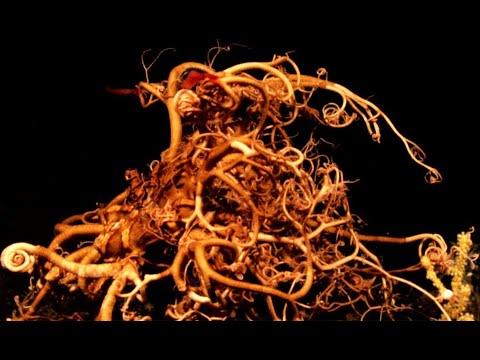 Basket Star: The Mini-Kraken - Deepsea Oddities