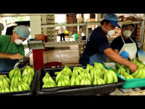 Processing bananas on a Fairtrade farm - producer group Pasaje of Asoguabo