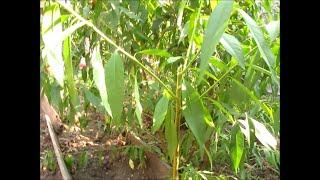 Мой любимый сад.Обрезка персика. Формируем чашевидную крону у персика.(Традиционная форма персикового дерева с некоторыми изменениями (от классической чаши до улучшенной чашеви..., 2015-09-01T13:55:23.000Z)