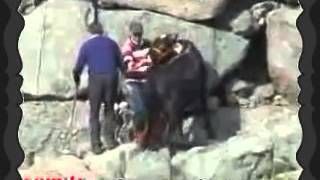 Boğa denize kaçtı 2012 kurban bayramı azgın boğa