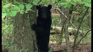 Собака берёт «взятку» от медведя в обмен на то, чтобы тот мог рыться в хозяйском мусоре!