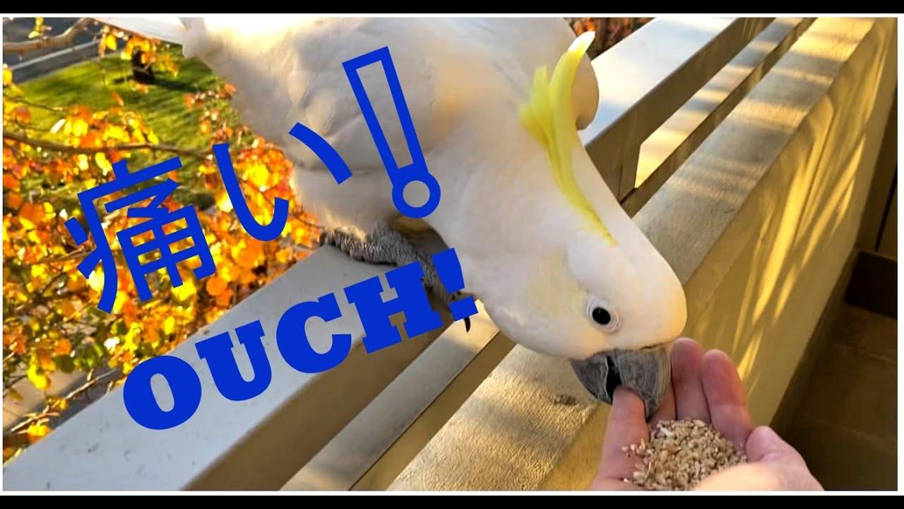 黄巴旦 - Sulphur-crested Cockatoo biting hand - YouTube - photo#39