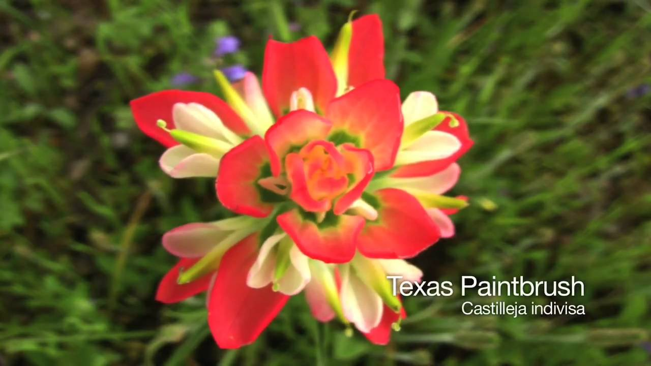 Wildflowers Of Central Texas Spring 2010 Youtube