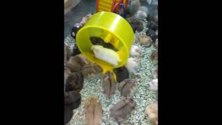 Download Video Vidio Lucu Hamster Berebut Roda Putar MP3 3GP MP4