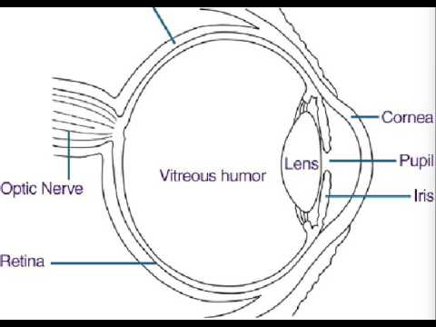 Parts Of The Eye Song Diagram YouTube
