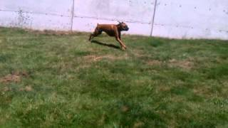 Stanley Doing The Boxer Zoomies